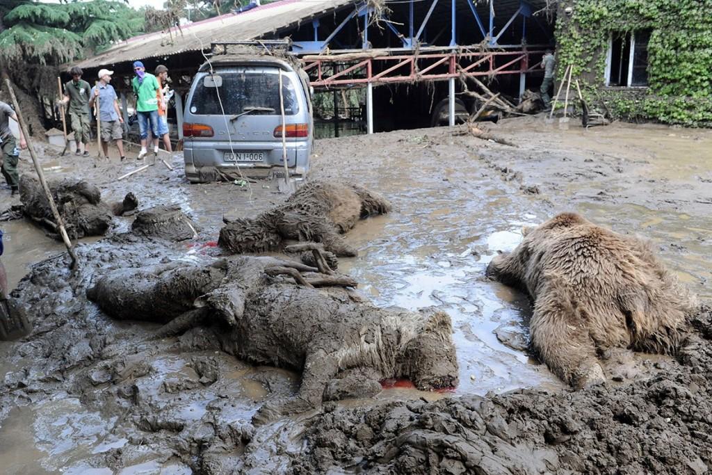 tbilisi-zoo-flood-lionк